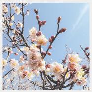 佐布里池の梅