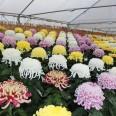第38回 阿久比町みんなの菊花展