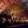 於大のみち桜のライトアップ
