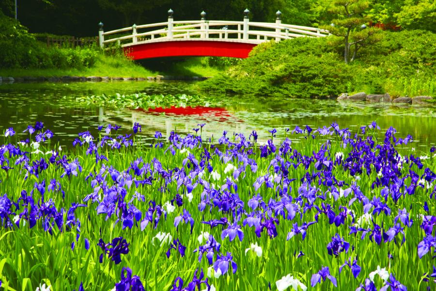 上野台公園(カキツバタ)