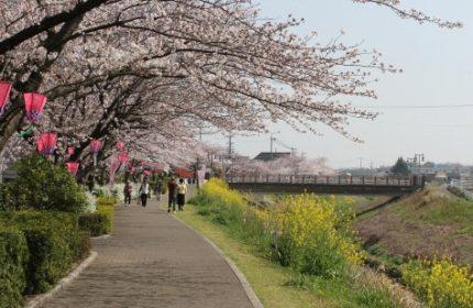 カラシナと桜