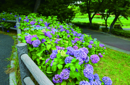 上野台公園(あじさい)